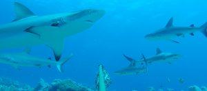 Image of finprint sharks underwater