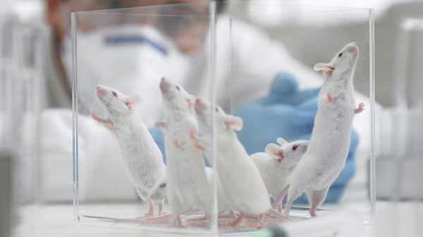 Lab Mice in glass container